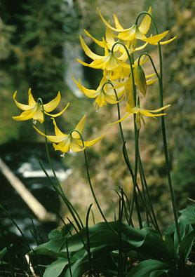 Glacier Lily4